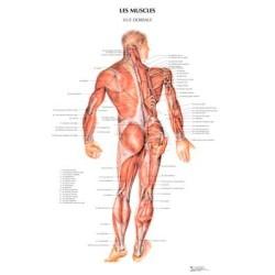 poster 600x800 muscles dorseaux