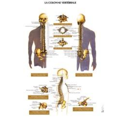 poster 600x800 colonne vertebrale