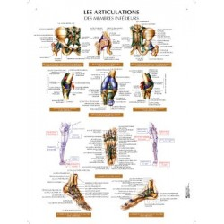 poster 600x800mm articulations du membre inferieur