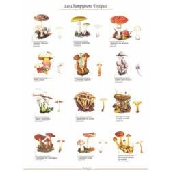 poster 600x800 champignons toxiques