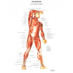 poster 600x800 muscles ventraux