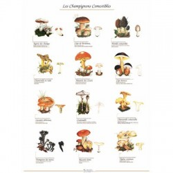 Poster 600x800, Les Champignons Comestibles